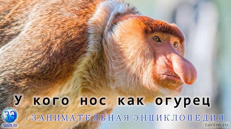 Носатая обезьяна (Кахау или Носач)