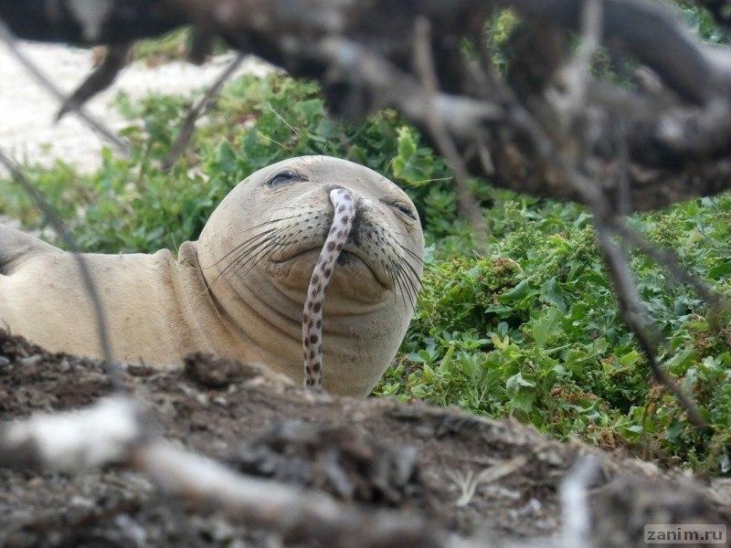 тюлень с угрем в носу