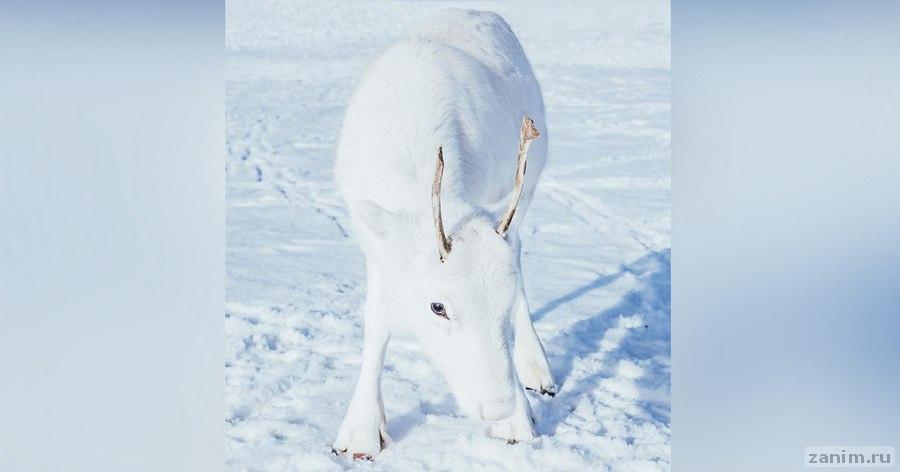 Фотограф случайно запечатлел оленёнка редчайшего вида