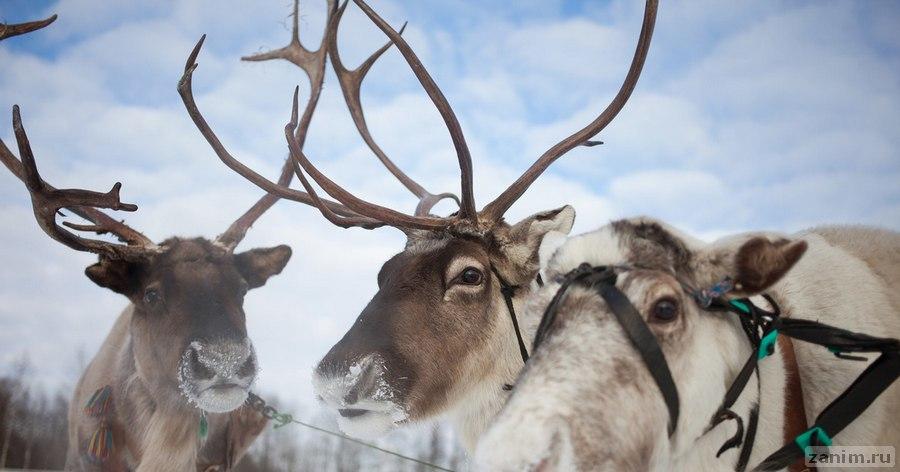 Учёные заявили о скором исчезновении северных оленей