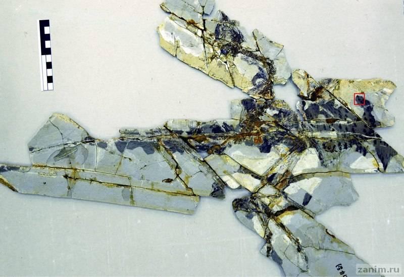 Исследованные останки анхиорниса