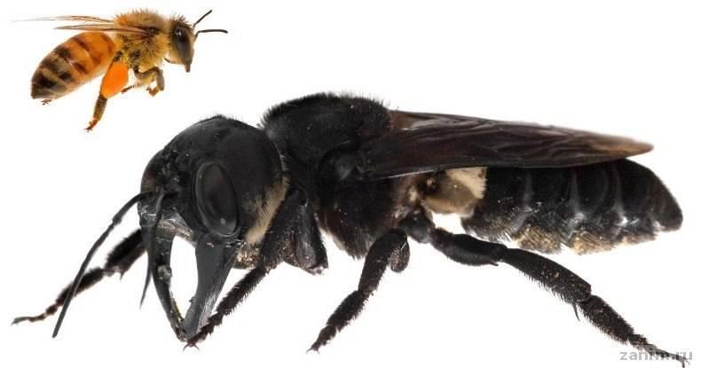 Обнаружены гигантские пчелы, которых никто не видел больше 100 лет