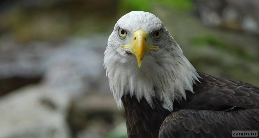 Как спасали обледеневшего белогового орлана
