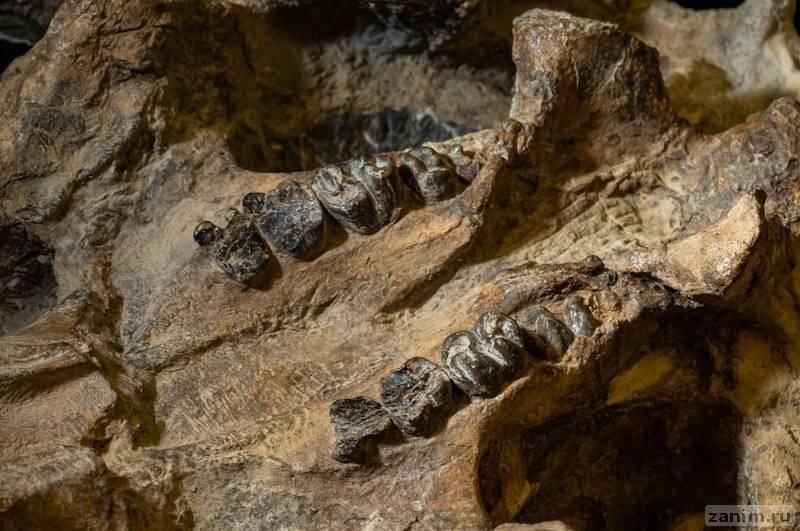 Верхняя челюсть животного