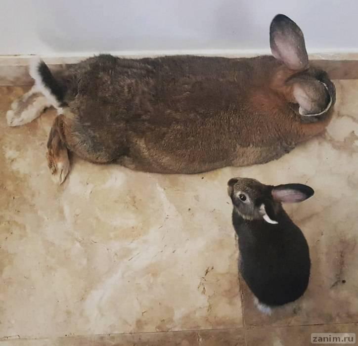 Крошечный кролик влюбился в огромную крольчиху