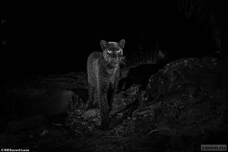 ультра-редкого черного леопарда