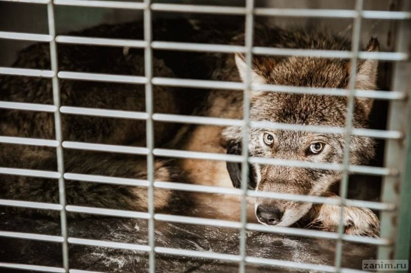 В Эстонии спасли тонущую в ледяной реке собаку, которая оказалась волком