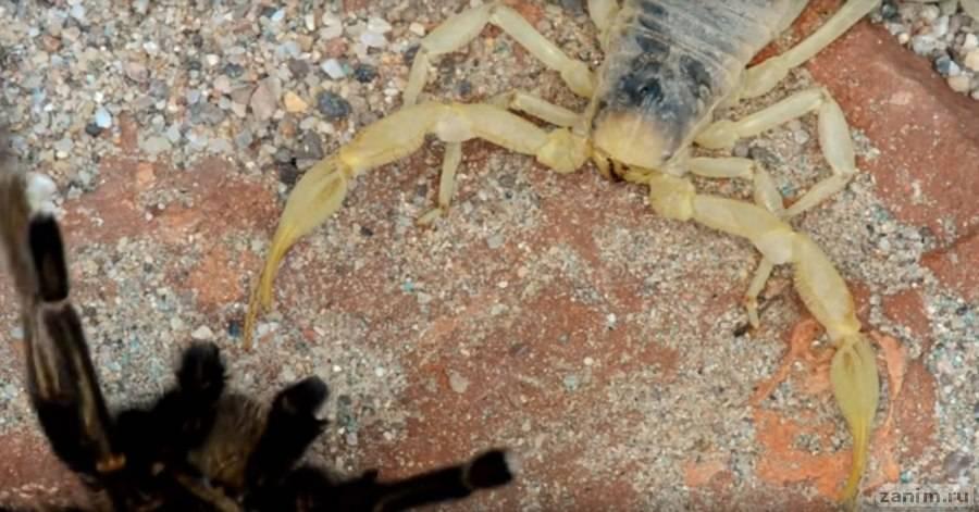 Скорпион против паука: смертельный поединок