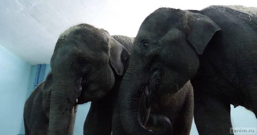 """Слонят из Мьянмы в """"Уголке дедушки Дурова"""" научили """"танцевать канкан"""""""