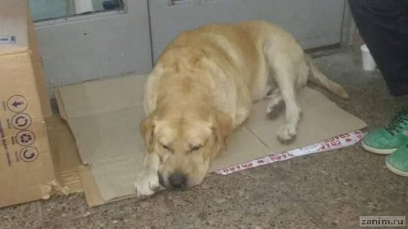 В Аргентине преданный лабрадор неделю сидел у дверей больницы в ожидании хозяина