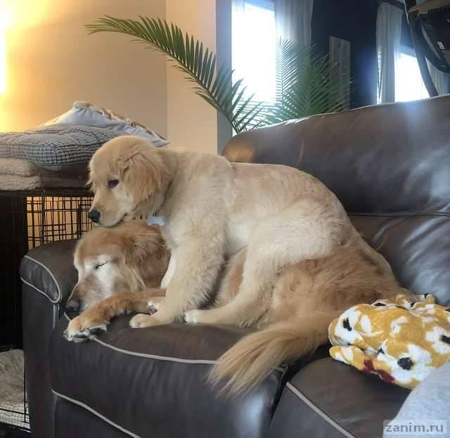 Щенок стал другом и поводырем для слепой собаки
