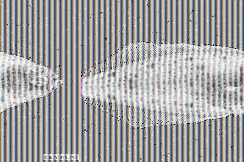 Малек морской камбалы-ерша Hippoglossoides platessoides, Печорское море