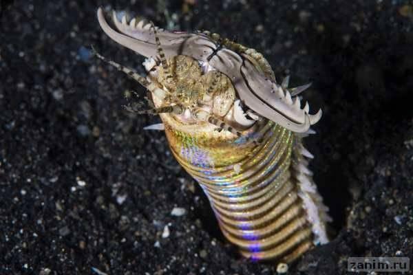 Трехметровый хищный червь: ужас теплого моря