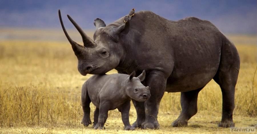 Как выглядит очень маленький носорожик