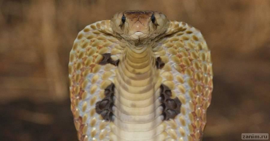 Королевская кобра вблизи