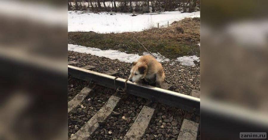 Машинист спас привязанного к рельсам пса в Ленобласти