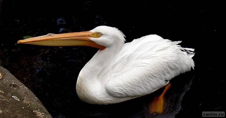 Может ли пеликан охотится на других птиц?
