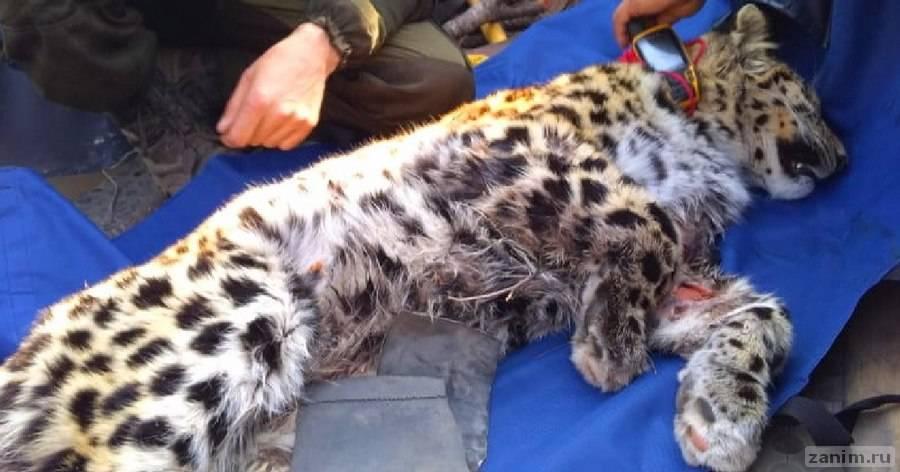 На юге Приморья нашли раненого дальневосточного леопарда