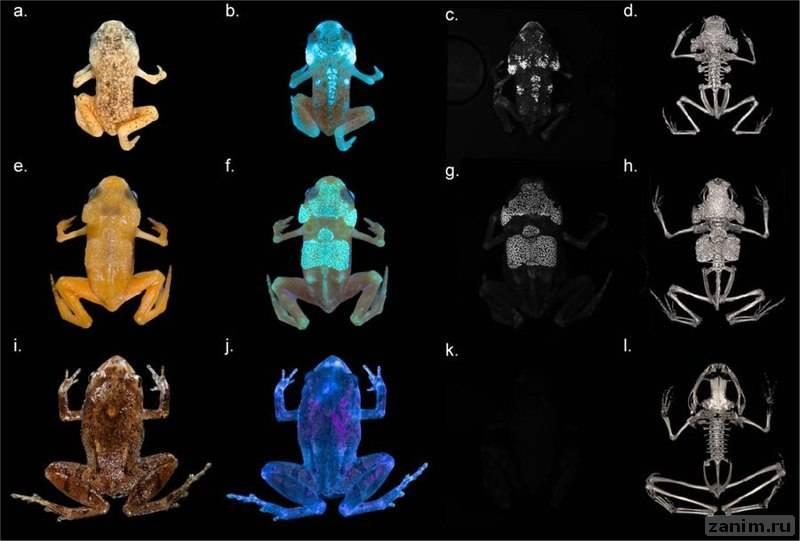 Обнаружены лягушки со светящимся скелетом