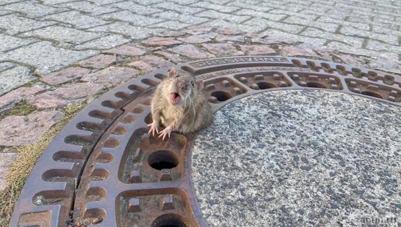В Германии спасли застрявшую в канализационном люке толстую крысу