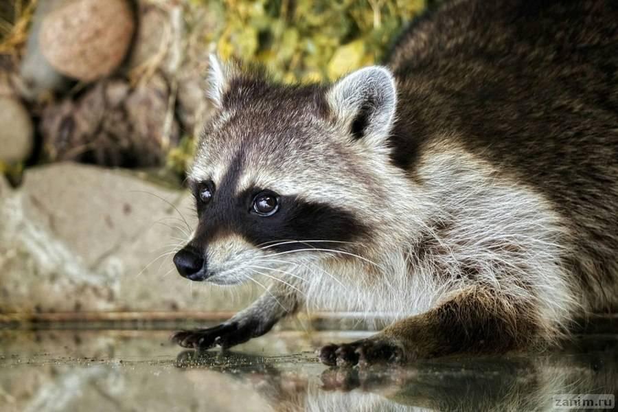 В Московском зоопарке проснулись еноты-полоскуны