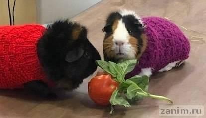 Ветеринары попросили людей связать свитера для морских свинок