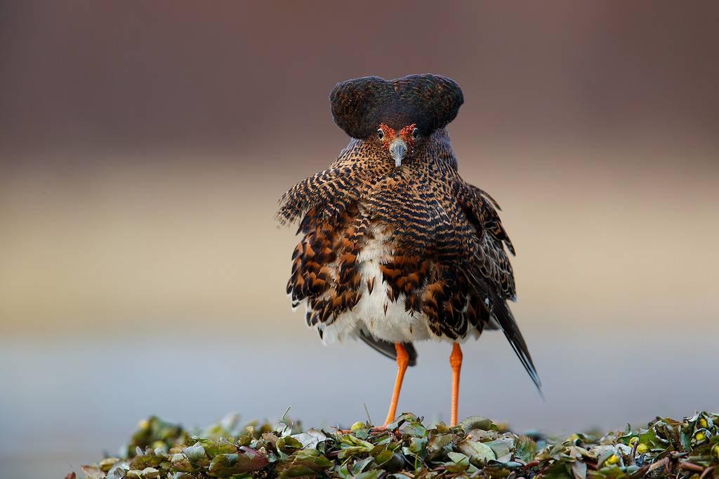 Турухтан птица