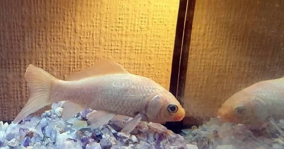 Самая старая золотая рыбка умерла в 44 года, не пережив потерю друга