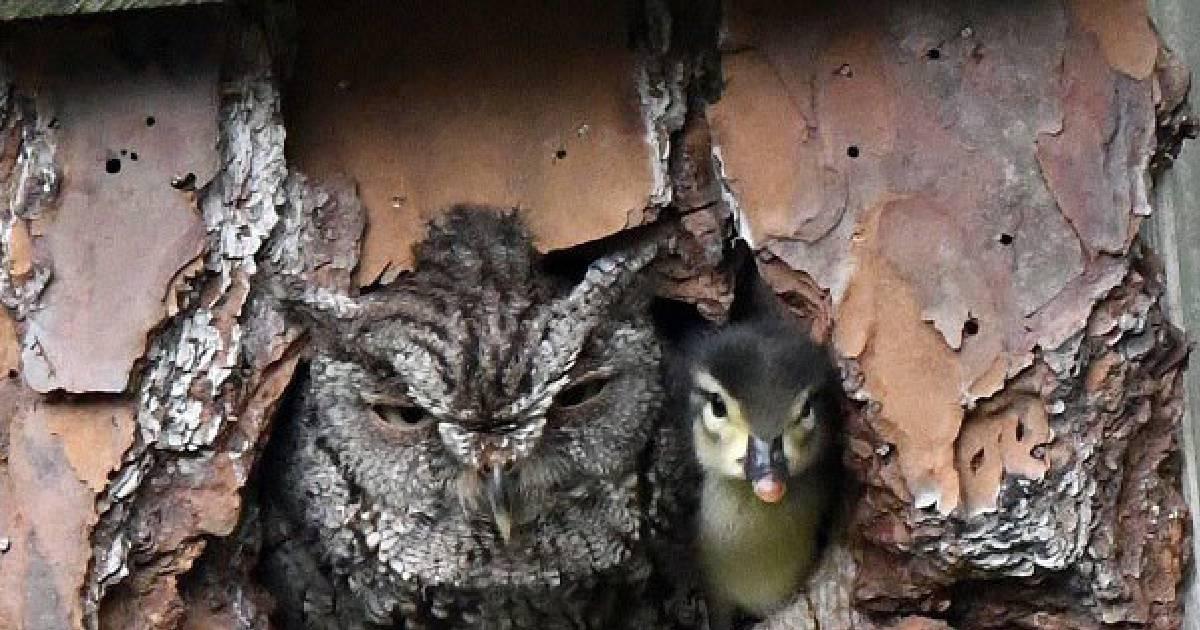 Сова стала мамой для утёнка, по ошибке приняв чужое яйцо за своё