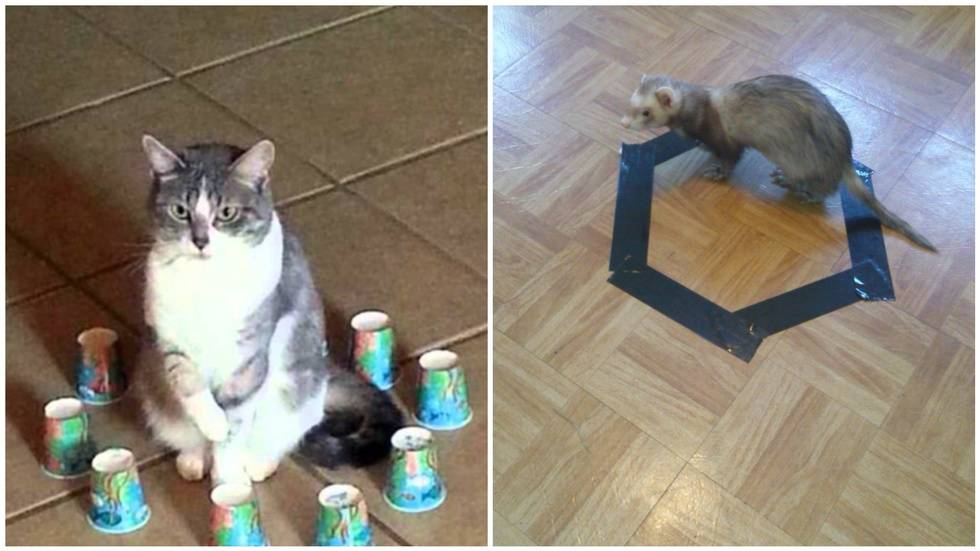 Хозяин опытным путём доказал, что коты всегда садятся в круг — даже нарисованный