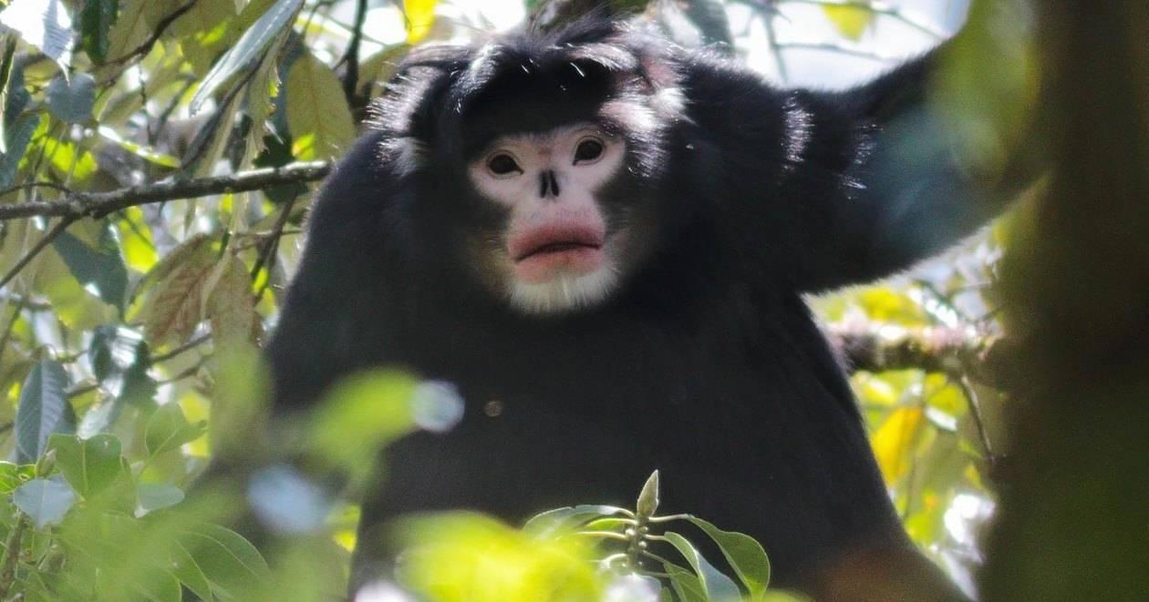 Бирманская курносая обезьяна: редкие кадры