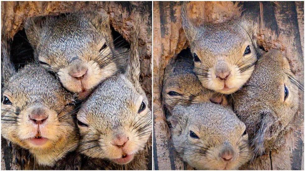 Фотограф снял смешную историю четырёх белок, которые оказались в одном дупле