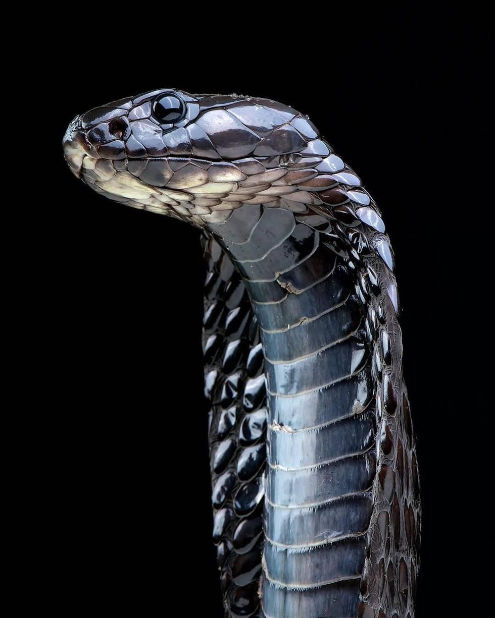 Египетская кобра
