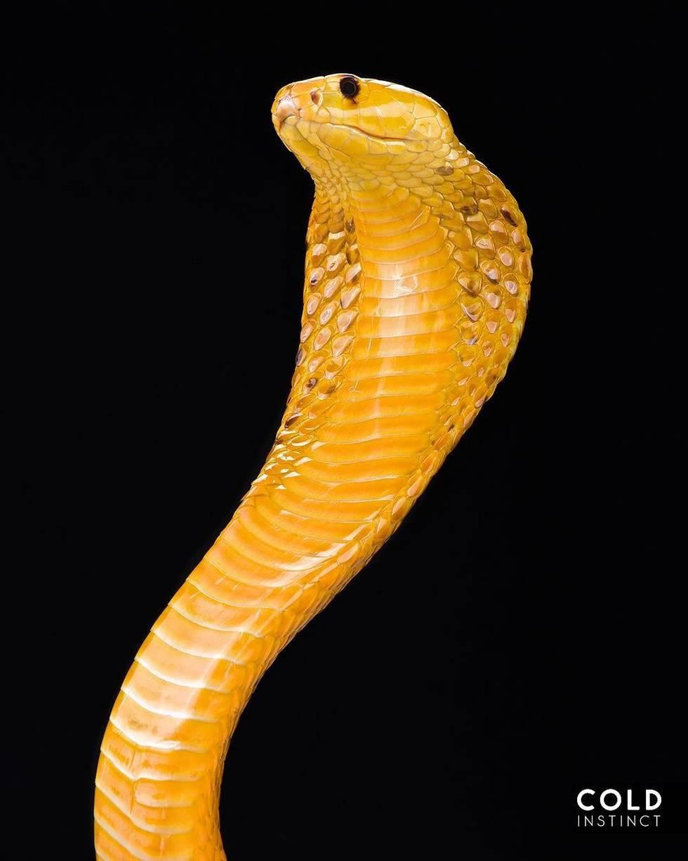 Капская кобра