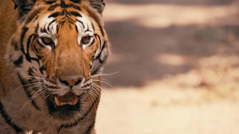 540 последних амурских тигров: как их спасти