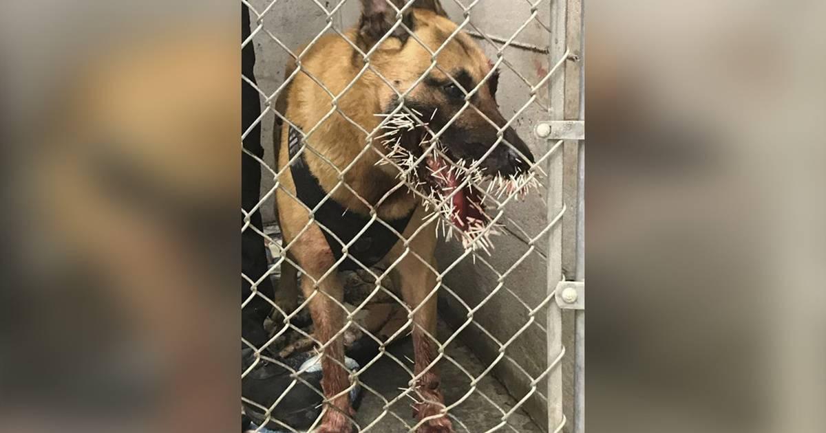 Дикобраз вонзил в полицейскую собаку более 200 игл