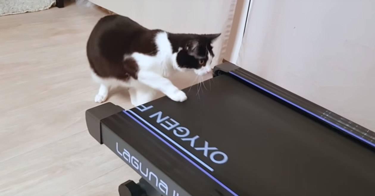 Как кошка реагирует на беговую дорожку