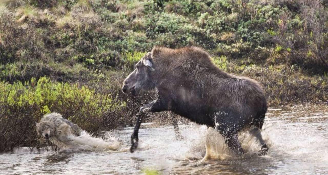 Лось против волка: схватка в воде