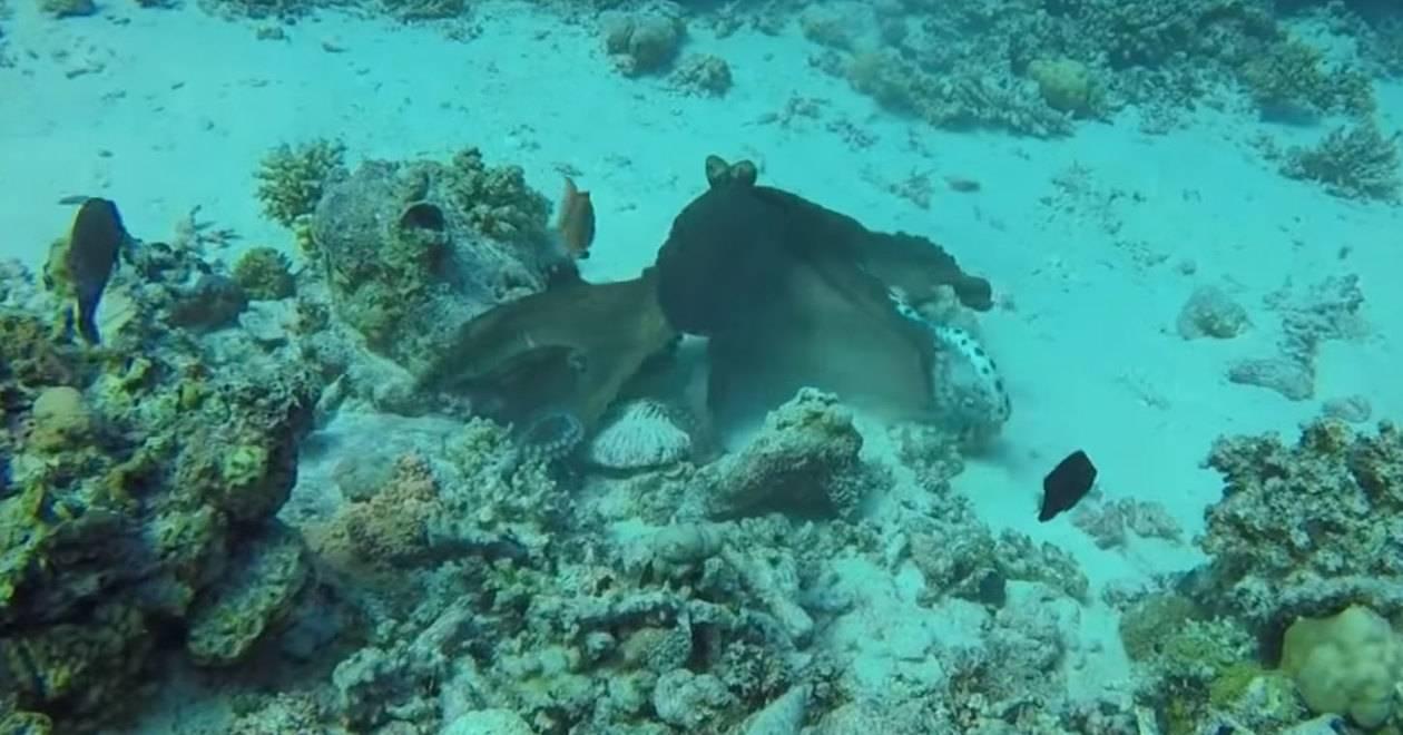Морской бой: осьминог против морской змеи (видео)