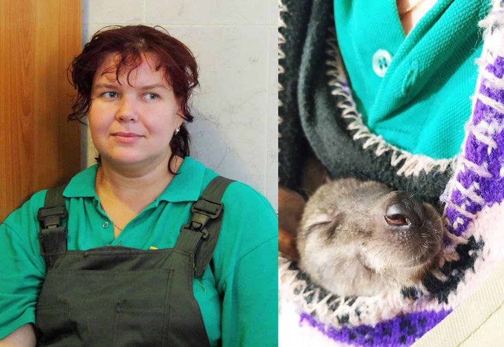 Сотрудница Ленинградского зоопарка выхаживает кенгурёнка в вязаной сумке