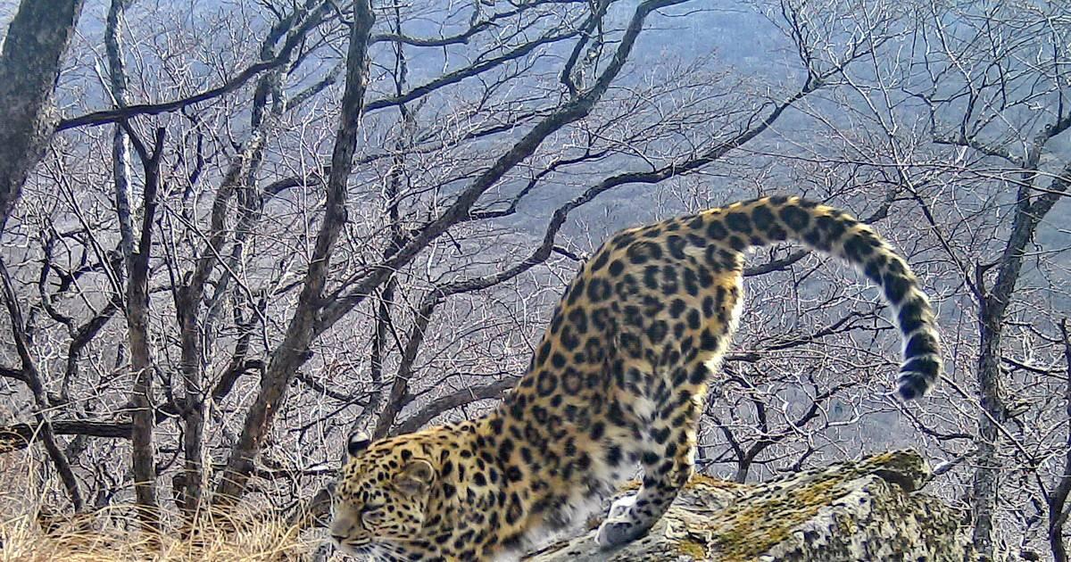Зоологи сообщили о росте популяции дальневосточного леопарда