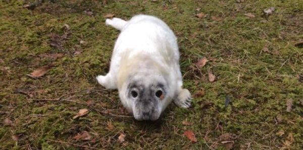 Истощённого тюленёнка спасли от волков в Ленобласти