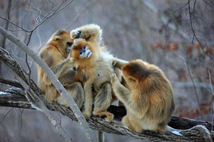 Бирманская курносая обезьяна