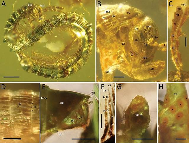 В янтаре нашли ранее неизвестную многоножку возрастом 99 млн лет