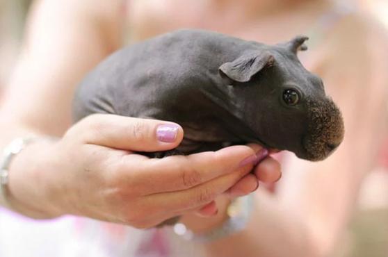 Маленькие бегемоты или морские свинки