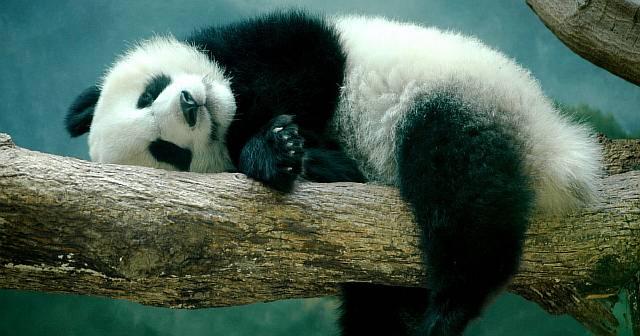 Большие панды оказались почти хищниками