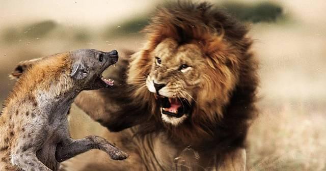 Лев против гиены: схватка насмерть