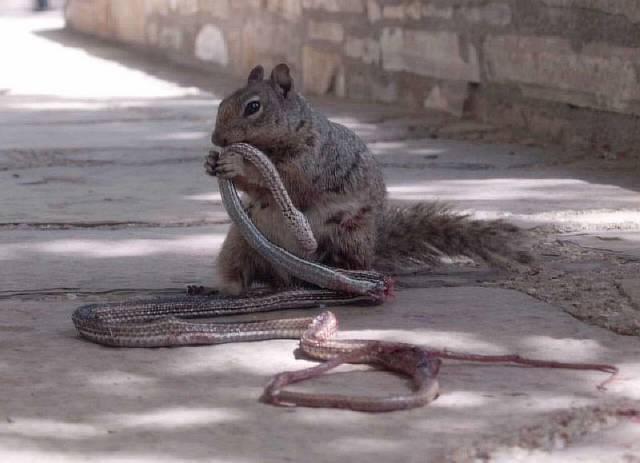 Белка напала на змею и съела ее заживо