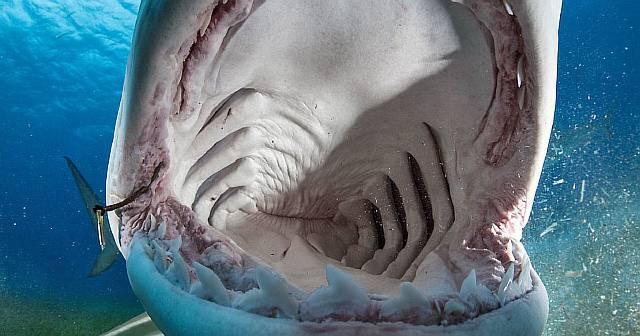 Как акулы набивают свои желудки певчими птицами