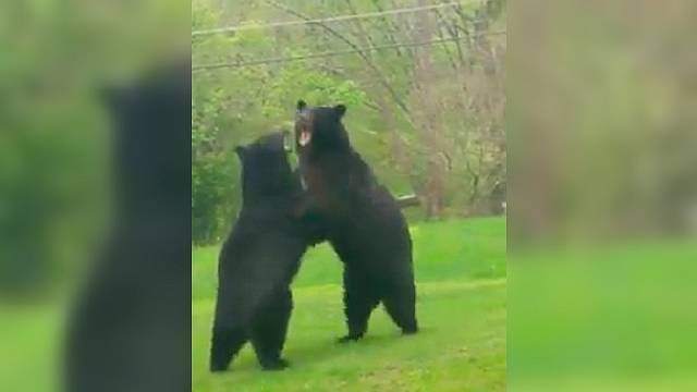 Во дворе дома два огромных медведя устроили кровавую драку